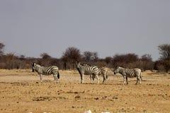 Damara zebra, Equus burchelli antiquorum, in the bush Namibia Royalty Free Stock Photos