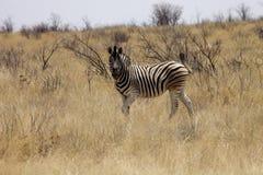 Damara zebra, Equus burchelli antiquorum, in the bush Namibia. One Damara zebra, Equus burchelli antiquorum, in the bush Namibia Royalty Free Stock Image