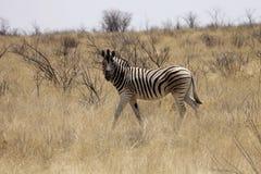 Damara zebra, Equus burchelli antiquorum, in the bush Namibia Stock Photos