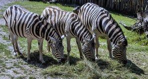 Damara zebra, Equus burchelli antiquorum, Stock Image
