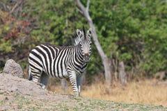 The Damara zebra,Equus burchelli antiquorum,national park Moremi, Botswana Royalty Free Stock Images
