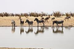 Damara zebra, Equus burchelli antiquorum, at the waterhole, Namibia Royalty Free Stock Images