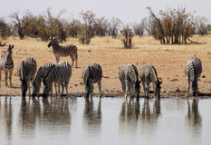 Damara zebra, Equus burchelli antiquorum, at the waterhole, Namibia Royalty Free Stock Image