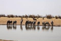 Damara zebra, Equus burchelli antiquorum, at the waterhole, Namibia Royalty Free Stock Photography
