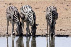 Damara zebra, Equus burchelli antiquorum, at the waterhole, Namibia Stock Image