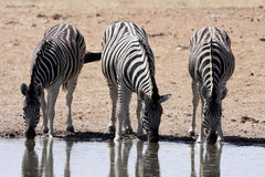 Damara zebra, Equus burchelli antiquorum, at the waterhole, Namibia. One Damara zebra, Equus burchelli antiquorum, at the waterhole, Namibia Stock Image