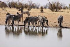 Damara zebra, Equus burchelli antiquorum, at the waterhole, Namibia. One Damara zebra, Equus burchelli antiquorum, at the waterhole, Namibia Royalty Free Stock Photo