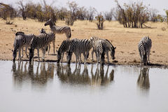 Damara zebra, Equus burchelli antiquorum, at the waterhole, Namibia Royalty Free Stock Photo