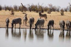 Damara zebra, Equus burchelli antiquorum, at the waterhole, Namibia. One Damara zebra, Equus burchelli antiquorum, at the waterhole, Namibia Stock Images