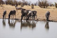 Damara zebra, Equus burchelli antiquorum, at the waterhole, Namibia. One Damara zebra, Equus burchelli antiquorum, at the waterhole, Namibia Stock Photo