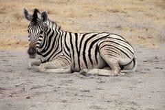 Damara zebra, Equus burchelli  Etosha, Namibia Stock Photos