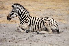 Damara zebra, Equus burchelli  Etosha, Namibia Royalty Free Stock Image