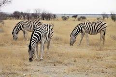 Damara zebra, Equus burchelli  Etosha, Namibia Stock Photography