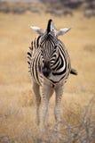 Damara zebra, Equus burchelli  Etosha, Namibia Stock Images