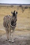 Damara zebra, Equus burchelli  Etosha, Namibia Royalty Free Stock Photo