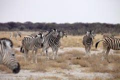 Damara zebra, Equus burchelli  herd in steppe, Etosha, Namibia Royalty Free Stock Photo
