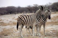 Damara zebra, Equus burchelli  herd in steppe, Etosha, Namibia Royalty Free Stock Photos