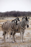 Damara zebra, Equus burchelli  herd in steppe, Etosha, Namibia Stock Images