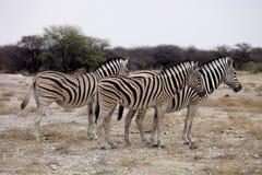 Damara zebra, Equus burchelli  herd in steppe, Etosha, Namibia Royalty Free Stock Images