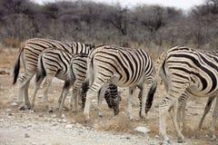 Damara zebra, Equus burchelli  herd in steppe, Etosha, Namibia Stock Image