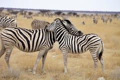 Damara zebra, Equus burchelli Mutual hair care, Etosha, Namibia Stock Photos