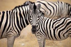 Damara zebra, Equus burchelli Mutual hair care, Etosha, Namibia Royalty Free Stock Photos