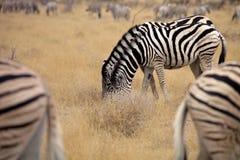 Damara zebra, Equus burchelli Mutual hair care, Etosha, Namibia Stock Photo
