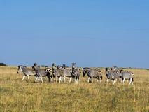 Damara zebra herd, Equus burchelli antiquorum, in tall grass in Makgadikgadi National Park, Botswana stock photo