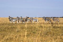 Damara zebra herd, Equus burchelli antiquorum, in tall grass in Makgadikgadi National Park, Botswana stock images