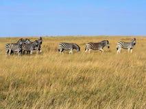Damara zebra herd, Equus burchelli antiquorum, in tall grass in Makgadikgadi National Park, Botswana royalty free stock photo