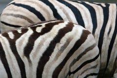 Damara zebras Stock Photo