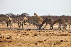 Damara zebras and giraffes at the waterhole, Etosha, Namibia Stock Image