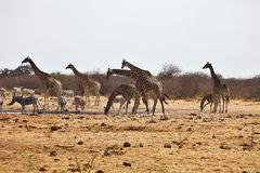 Damara zebras and giraffes at the waterhole, Etosha, Namibia Royalty Free Stock Photos