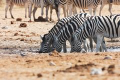 Damara zebras and giraffes at the waterhole, Etosha, Namibia Royalty Free Stock Photo