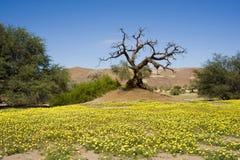Damaraland的开花的沙漠,纳米比亚 免版税库存照片