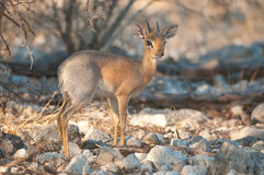 Damaraland Dik-dik. A rare and small antelope adapted to shrub-land of arid areas.  Occurs in monogamous pairs Stock Image