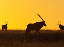 damaralandgemsboknamibia oryxantilop Arkivbilder