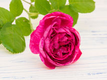 Damas Rose Photo stock