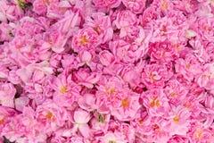 Damascena bulgaro reale Rosa Fotografia Stock