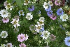 Damascena de Nigella en la floración Imagen de archivo libre de regalías
