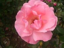 Damascena de Rosa Flor color de rosa del color de rosa Rosaleda Imagen de archivo libre de regalías