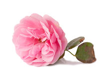Damascena del Rosa Fotografia Stock Libera da Diritti