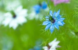 Damascena Nigella, άγριο μάραθο Στοκ Φωτογραφίες