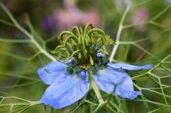 Damascena Nigella λουλουδιών Nigella Στοκ εικόνες με δικαίωμα ελεύθερης χρήσης