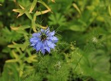Damascena Nigella, μπλε λουλούδι Στοκ Εικόνες