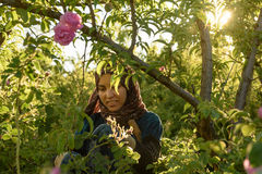 Damaschena de Rosa que colhe em Marrocos Fotografia de Stock