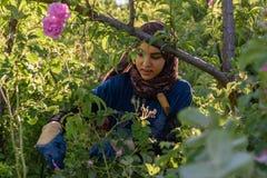Damaschena de Rosa que colhe em Marrocos Foto de Stock