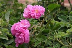 Damascus pink rose Royalty Free Stock Images
