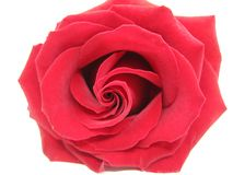 Damask red rose heart closeup. Damask red rose isolated on white background royalty free stock photo