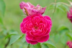 Damask rose Royalty Free Stock Photos